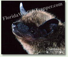 Nuisance Wildlife Removal can take care of your bat problems.