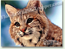 Nuisance Wildlife Removal can take care of your bobcat problems.