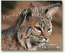 Nuisance Wildlife Removal can take care of your nuisance bobcat needs.
