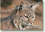 Nuisance Wildlife Removal Wildlife Index - Bobcats