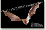 Nuisance Wildlife Removal Wildlife Index - Bats