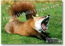 Nuisance Wildlife Removal can take care of nuisance foxes.
