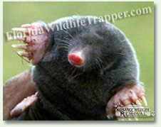 Nuisance Wildlife Removal can take care of nuisance moles.