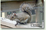 Nuisance Wildlife Removal Wildlife Index - Squirrels