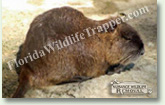 Nuisance Wildlife Removal Wildlife Index - Nutria