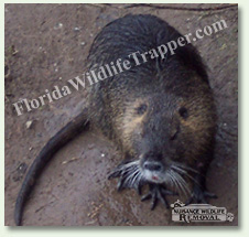 Nuisance Wildlife Removal can take care of nuisance nutria.