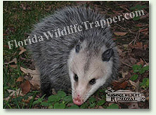 Nuisance Wildlife Removal can take care of nuisance opossums.
