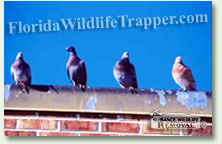 Nuisance Wildlife Removal can take care of your pigeon problems.