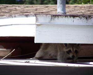 Raccoon on Manatee County roof