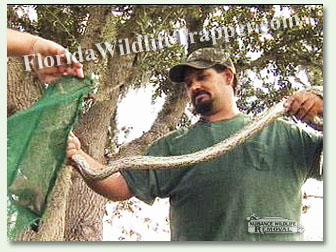 Matt of Nuisance Wildlife Removal capturing a snake.