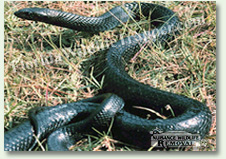 Nuisance Wildlife Removal can take care of nuisance snakes.